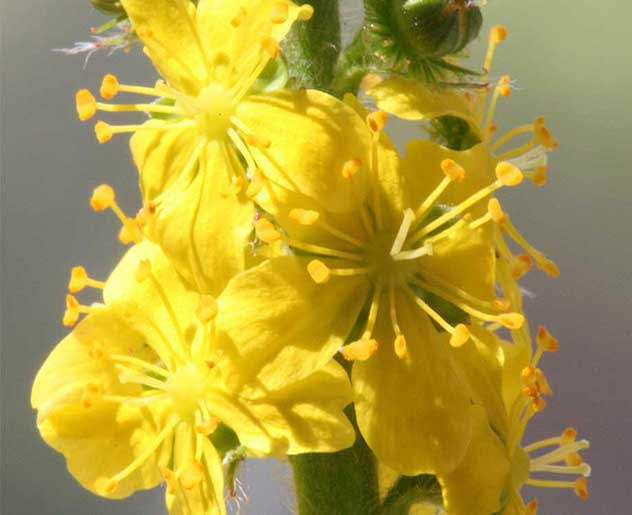 Agrimony Bachblüte