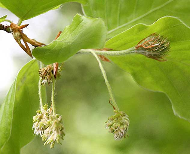 Beech Bachblüte
