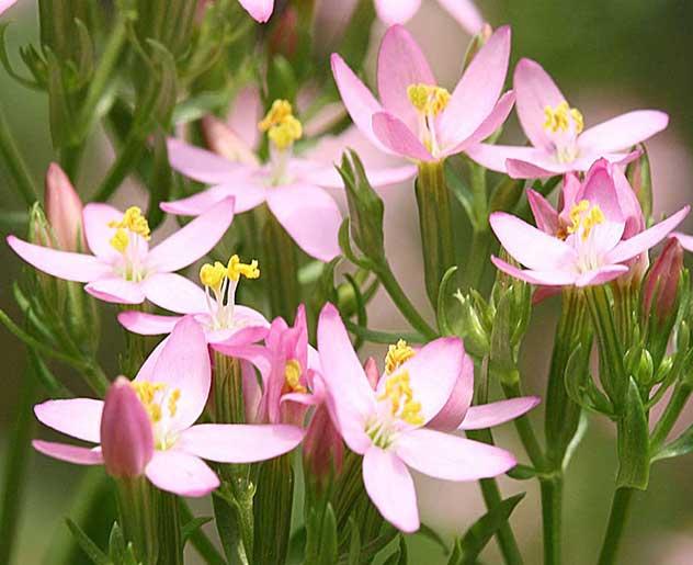 Centaury Bachblüte