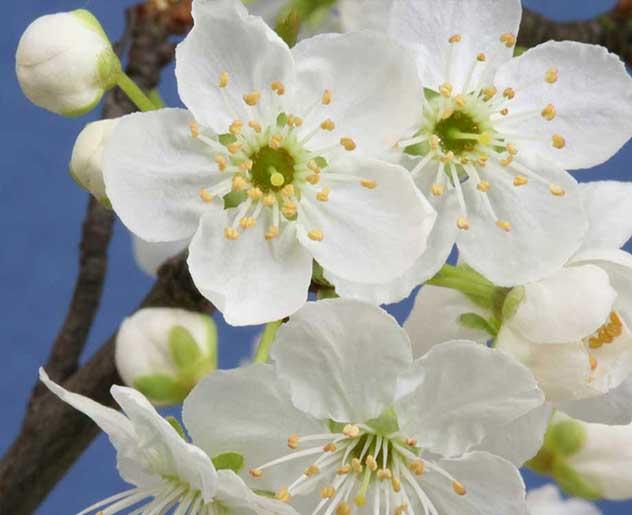 Cherry Plum Bachblüte
