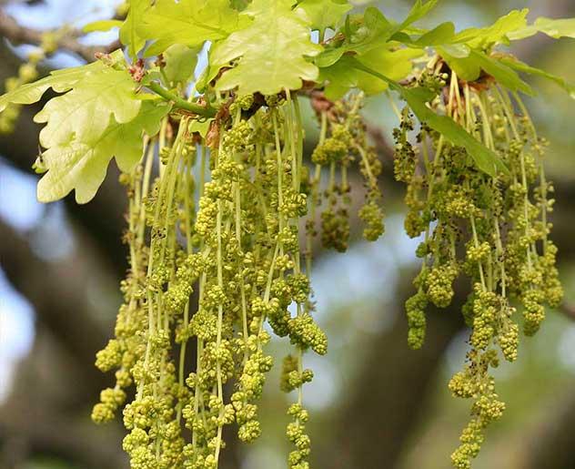 Oak Bachblüte