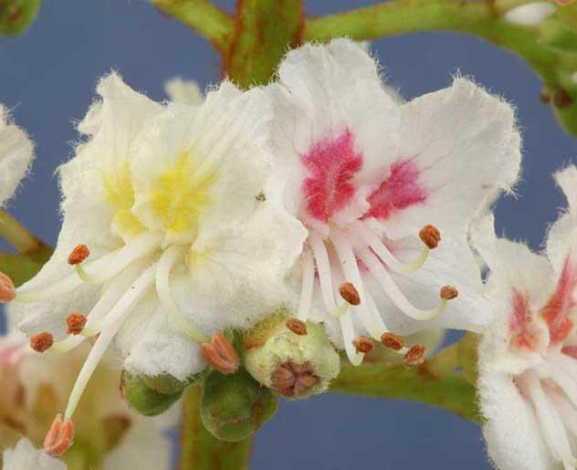 White Chestnut Bachblüte